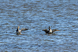 waterfolw believed to be Northern Pintail (Anas Acuta) floating on the blue water in late winter at Emiquon National Wildlife Refuge near Lewistown in Fulton Co Illinois