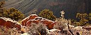 Grand Canyon Rock Squirrel nibbling a bush