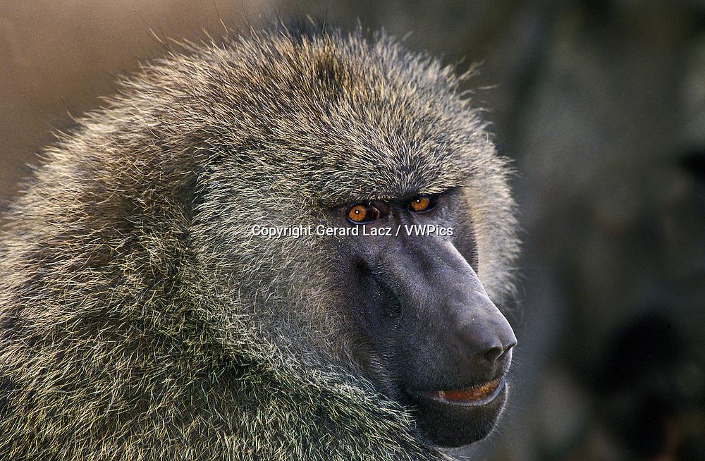 Olive Baboon, papio anubis, Portrait of Adult, Masai Mara Park in Kenya