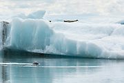Common seal swimimng in the glacial lagoon or Jökulsárlón, amongst the ice.