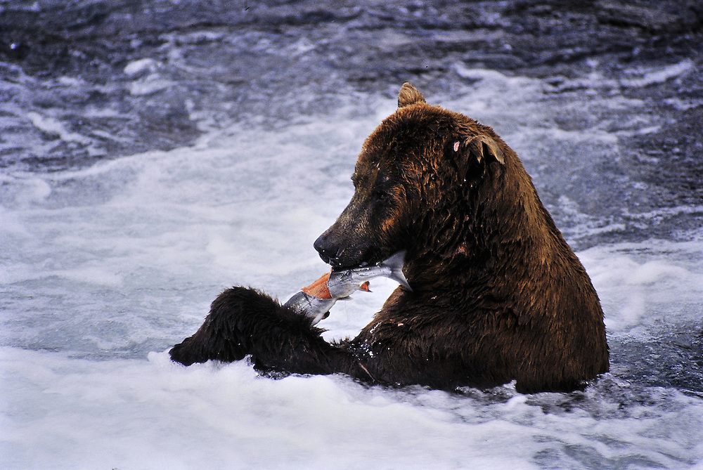 This grizzly caught its lunch and ate it in the same place (lunch consisted of about 80 lbs. of salmon). Alaska