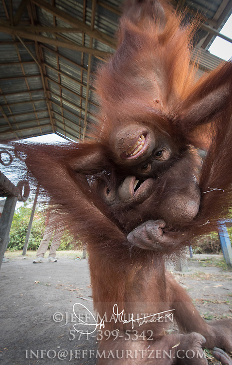 Two young Bornean orangutan, Pongo pygmaeus play together at the Orangutan Care Center, Orangutan Foundation International in Borneo, Indonesia.