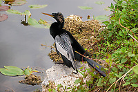 Related to pelican and cormorants, this male anhinga is in full breeding plumage in the Florida Everglades. Common along the wetlands of the Gulf Coast on the United States, this fish-specialist is widely scattered across Central America and can be found throughout the whole of the Amazon River Basin in South America.