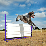 German short haired pointer dog jumping over agility gate