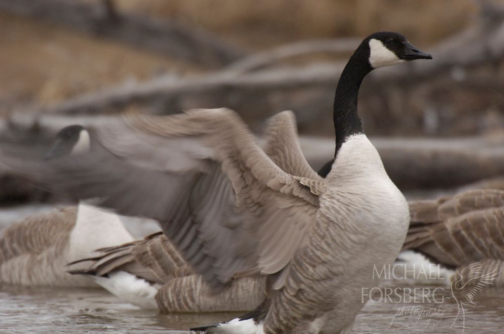 A wintering canada goose stretches its wing along Blue Creek.  Nebraska Sandhills.