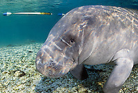 Florida manatee, Trichechus manatus latirostris, a subspecies of the West Indian manatee, endangered. February 29, 2008, rare series of the documented first day of a newborn male manatee calf that takes place out front of Three Sisters in the shallow waters in front of the manatee sanctuary. The rare event begins about an hour after sunrise. No other people, besides myself, came for almost an hour so this depicts natural manatee behaviors. It was an unusually cold, late winter morning.This adult female manatee partnered with a curious male manatee to attempt to take the infant away from its mother and escort female. This behavior is only noted as curiosity towards newborns as aggression cannot be assumed. Horizontal orientation with mixing blue, aqua and green waters, lit by rainbow sun rays. Three Sisters Springs, Crystal River National Wildlife Refuge, Kings Bay, Crystal River, Citrus County, Florida USA.