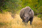 A baby White Rhinoceros walking through bush, its mother out of frame.<br /> <br /> The white rhinoceros or square-lipped rhinoceros (Ceratotherium simum) is the largest and most numerous species of rhinoceros that exists. It has a wide mouth used for grazing and is the most social of all rhino species.