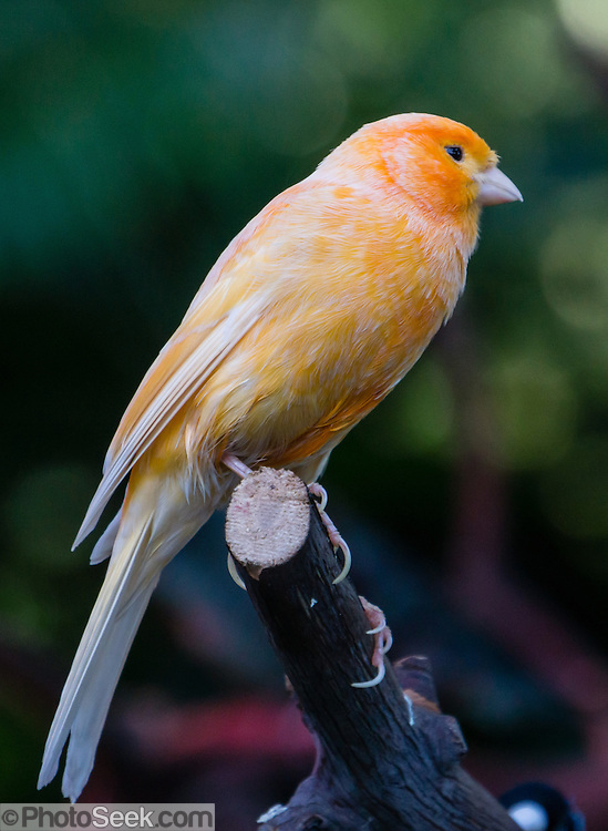 """Orange-yellow bird. Bloedel Conservatory, Queen Elizabeth Park, Vancouver, British Columbia, Canada. Address: 4600 Cambie St. Bloedel Conservatory is a domed lush paradise where you can experience the colors and scents of the tropics year-round, within Queen Elizabeth Park, atop the City of Vancouver's highest point. From Little Mountain (501 feet), see panoramic views over the city crowned by the mountains of the North Shore. A former rock quarry has been converted into beautiful Queen Elizabeth Park with flower gardens, public art, grassy knolls. In Bloedel Conservatory, more than 200 free-flying exotic birds, 500 exotic plants and flowers thrive within a temperature-controlled environment. A donation from Prentice Bloedel built the domed structure, which was dedicated in 1969 """"to a better appreciation and understanding of the world of plants,"""" and is jointly operated by Vancouver Park Board and VanDusen Botanical Garden Association."""