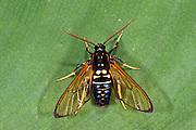 Wasp-mimic Moth (Arctiidae)<br /> Yasuni National Park, Amazon Rainforest<br /> ECUADOR. South AmericaWasp-mimic Moth (Arctiidae, Ctenuchinae)<br /> Yasuni National Park, Amazon Rainforest<br /> ECUADOR. South America