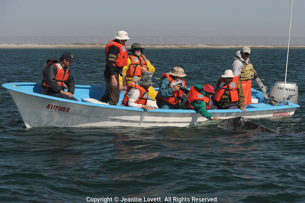 Tourists touching a grey whale calf in Baja.