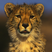 Cheetah posing in Kalahari National Park in South Africa.