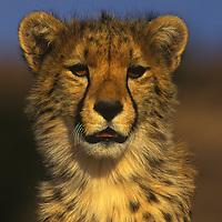 Cheetah posing in Kalahari National Park in South Africa.