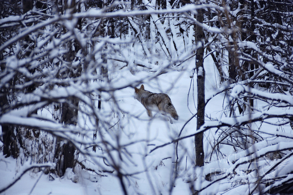 Coyote. Oak Glen Wildlife Management Area, Seward County. Lone coyote hunts a wooded hollow.