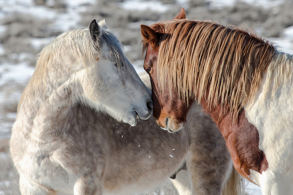 The grey wild mustang stallion, Bridger, engages in some deep discussion with his band-mate, bachelor stallion, Garth.