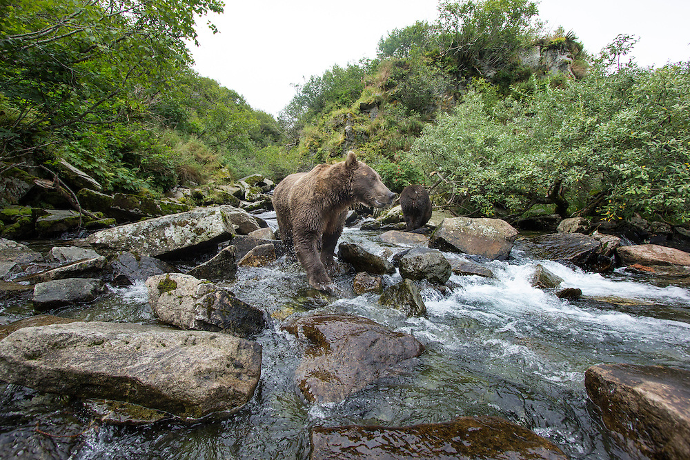 USA, Alaska, Katmai National Park, Coastal Brown Bear (Ursus arctos) fishing for spawning salmon in stream along Kuliak Bay