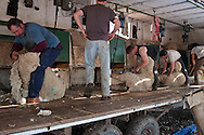Sheep shearing crew, outside Belle Fourche, South Dakota