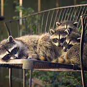 Raccoon families seek water and safety in urban backyards. Seattle.
