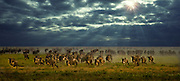Wildebeest running, Serengeti National Park, Tanzania; the largest land mammal migration on earth.