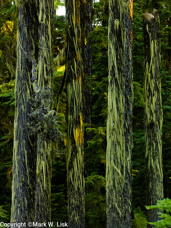 Long strands of moss hangs from old growth in the St. Joe National Forest.