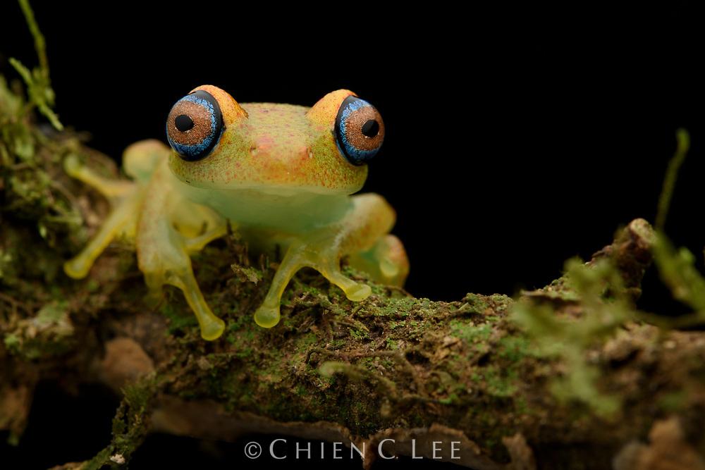 Green Bright-eyed Frog (Boophis viridis). Tomasina, Madagascar.