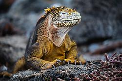 Galapagos Land Iguana (Conolophus subcristatus), South Plaza Island, Galapagos Islands, Ecuador