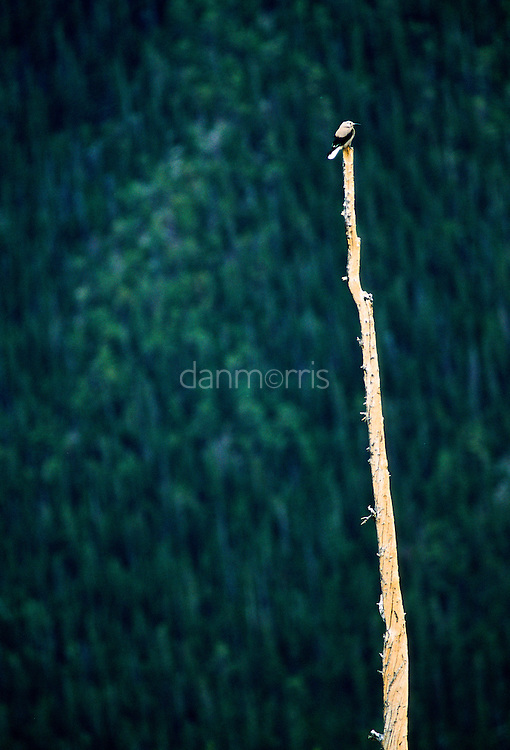 Bird perches on a dead tree against a backdrop of evergreens in Rocky Mountain National Park, Colorado