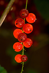 Redcurrant 'Junifer' - Ribes rubrum