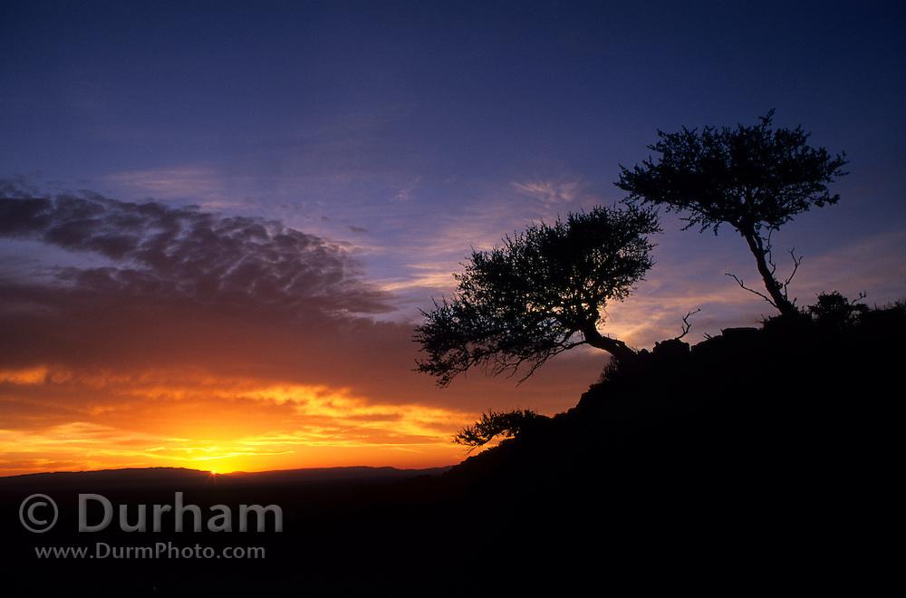 Curlleaf mountain mahogoany (Cercocarpus ledifolius) trees at sunrise, Hart Mountain National Wildlife Refuge, Oregon.