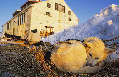 Alaska. Unalakleet. Sled dog rests at checkpoint on the Iditarod trail.