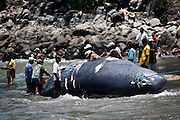 Sperm whale was dead, ready to be cut at the seaside Lamalera.Residents in the lamalera village, Indonesia cathing  sperm whales with traditional method to provide meals for the entire village and part of the Lembata island where the village is located..