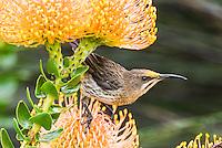 Cape Sugarbird feeding on the nectar of a Pincushion Flower, Kirstenbosch Botanical Gardens, Western Cape, South Africa,