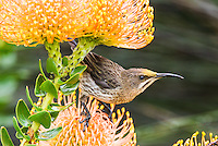 Cape Sugarbird feeding on the nectar of a Pincushion Flower, Kirstenbosch Botanical Gardens, Western Cape, South Africa,