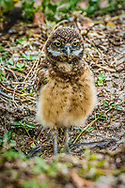 The burrowing owl (Athene cunicularia) is a small, long-legged owl found throughout open landscapes of North and South America. Burrowing owls can be found in grasslands, rangelands, agricultural areas, deserts, or any other open dry area with low vegetation. They nest and roost in burrows, such as those excavated by prairie dogs (Cynomys spp.). Unlike most owls, burrowing owls are often active during the day, although they tend to avoid the midday heat