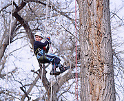 Recreational tree climbing in Colorado.