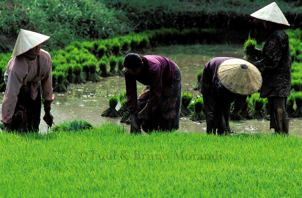 Laos, Vientiane, Environs de Vientiane, Rizièere, Repicage du riz // Rice field, Vientiane, Lao People's Democratic Republic