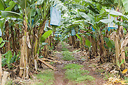 Dirt track through banana tree plantation in tropical Far North Queensland, Australia