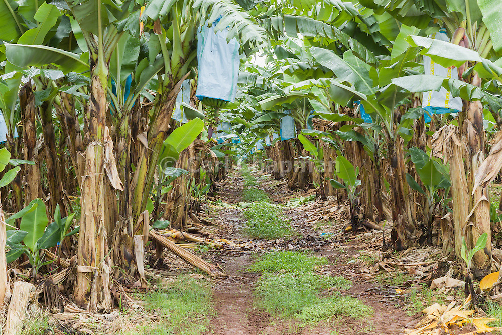 Dirt track through banana tree plantation in tropical Far North Queensland, Australia <br />