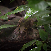 The northern treeshrew (Tupaia belangeri) is a treeshrew species native to Southeast Asia.