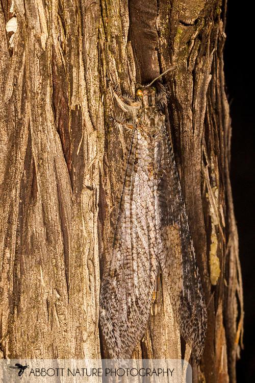 Antlion (Vella fallax texana)<br /> United States: Texas: Brewster Co.<br /> Big Bend National Park; Chisos Basin<br /> 24-28.Aug.2016<br /> J.C. Abbott #2860