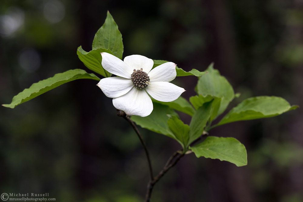 A Pacific Dogwood (Cornus nuttallii) tree booming in a forest in Langley, British Columbia, Canada.  The Pacific Dogwood is British Columbia's official flower and is featured on the BC provincial coat of arms.