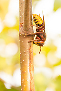 Hornet (vespa crabro) stripping bark from birch sapling and drinking sap. Surrey, UK.
