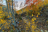 Little Cottonwood Canyon explodes with golden colors of Fall at sunset on a warm Fall evening.