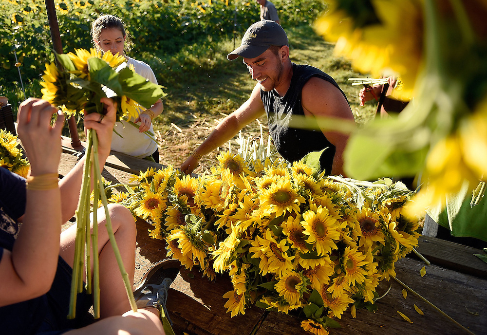 7/28/16 :: REGION :: STAND ALONE :: Volunteer Dillon Florence, center, drops a armload of blossoms on the trailer for bunding as bouquets as volunteers harvest sunflowers at Buttonwood Farm in Griswold Thursday, July 28, 2016 for the farm's 13th annuals Sunflowers for Wishes fundraiser. A bouquet of sunflowers can be had for a $10 donation to the Make-A-Wish Foundation during the event which runs through this weekend. The event has raised over $1 million since it began.  (Sean D. Elliot/The Day)