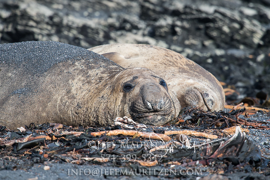 Southern Elephant seals rest on the beach at Isla de Los Estados, Argentina.