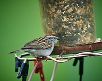 Chipping Sparrow. Image taken with a Nikon D5 camera and 600 mm f/4 VR lens (ISO 1600, 600 mm, f/5.6, 1/800 sec).