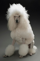 White Poodle on grey background