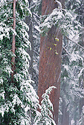 Snow falling on pines, Crater Lake National Park, Oregon