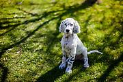 """Der English Setter Welpe """"Rudy"""" am 26.03.2017 im Garten.  Rudy wurde Anfang Januar 2017 geboren und ist gerade zu seiner neuen Familie umgezogen."""