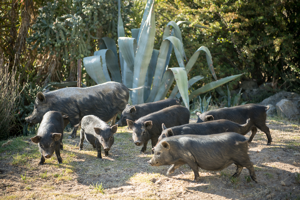 Herd of young pigs roam around with their mother sow, Cape Town, South Africa