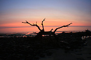 Jekyll Island driftwood trees at sunrise as seen through an Opteka Semi Fisheye lens